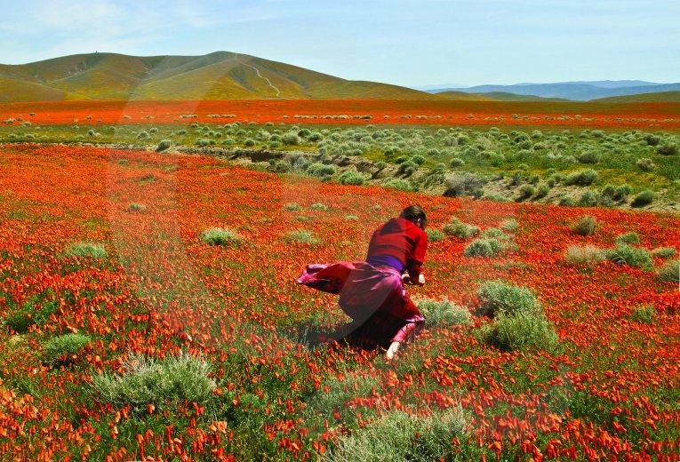 A women picking poppies in the Antelope Valley Poppy Reserve