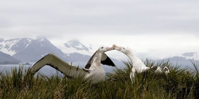Albatross kissing with mountains in the background